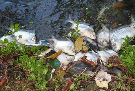 Fischsterben Puerto Rico