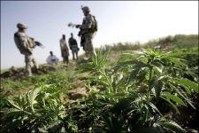 marijuanafield