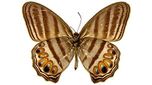 Splendeuptychia mercedes