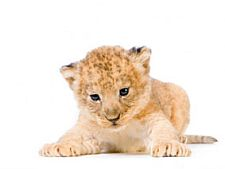 baby_lion