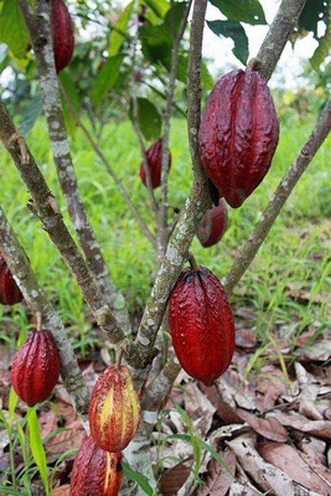 Kakaosorte CCN51