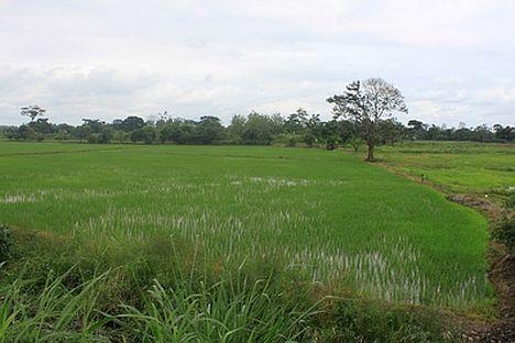 Reisfeld in Los Rios