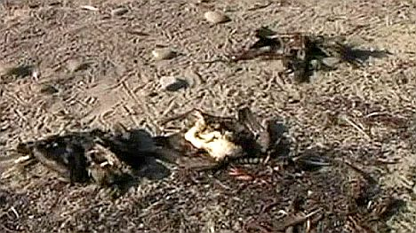 Dead animals on Chilean coast