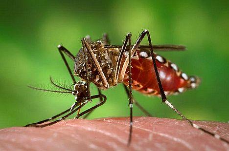 Denguefliege