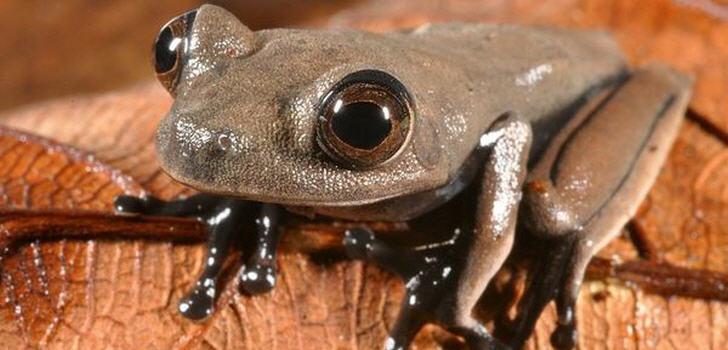 Schokladenfarbiger Frosch (Hypsiboas sp.)