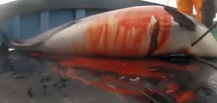 delfinschlachten-peru