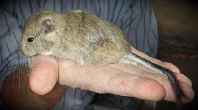 roedor-kirchner