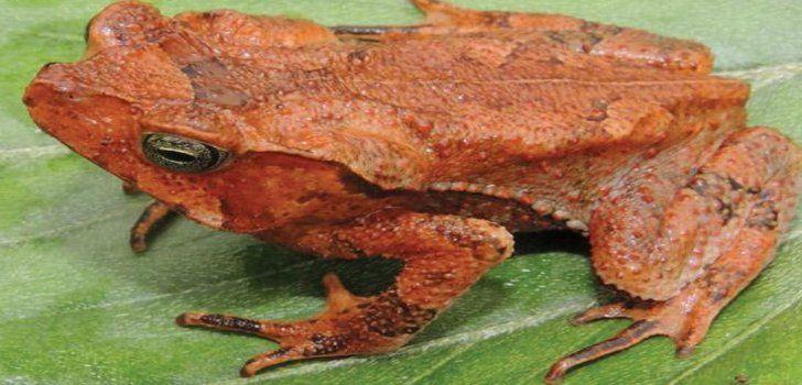 rhinella-yunga