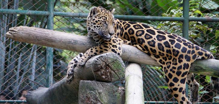 tigra-jaguar