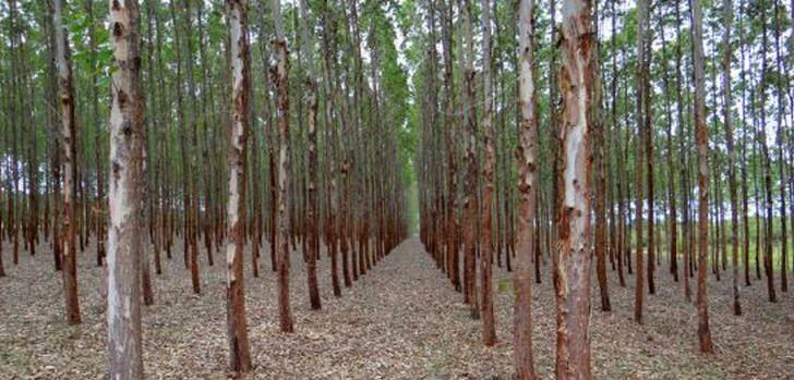 eucalyptus-plantage-brasilien