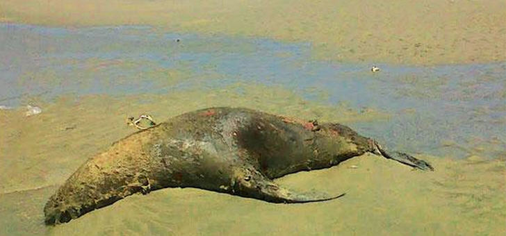 lobos-marinos-muertos-en-playas-de-talara