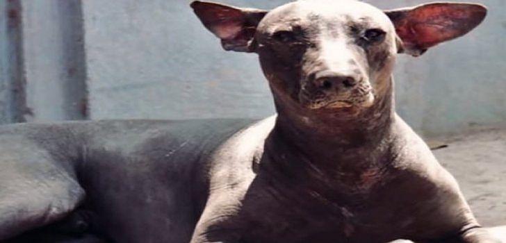 nackthund