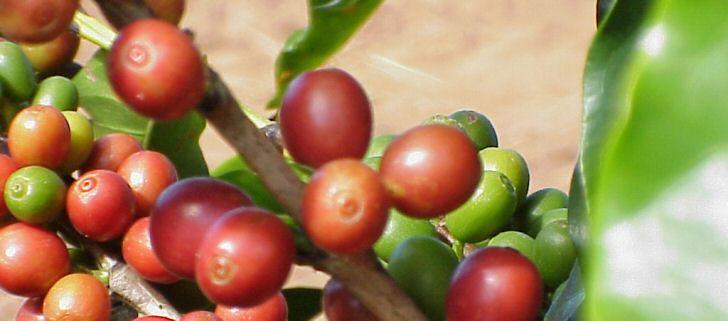 kaffee-brasilien
