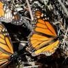 Mexiko: Über 120.000 Touristen besuchen Monarchfalter-Schutzgebiete