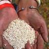 Quinoa-Produktion in Lateinamerika: Peru bleibt größter Produzent