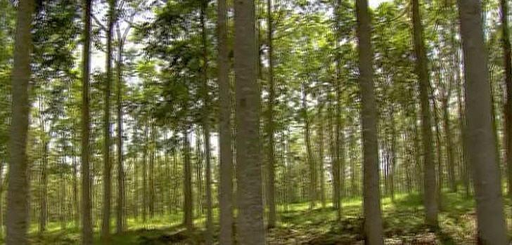 Brasilien Einheimische Holzindustrie Setzt Auf Die Australische