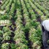 Venezuela: Irrsinn und kein Ende – Bevölkerung wird zur Feldarbeit gezwungen