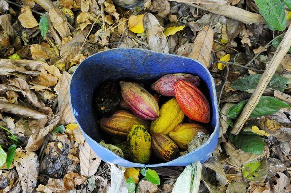 Kakao-sammeln