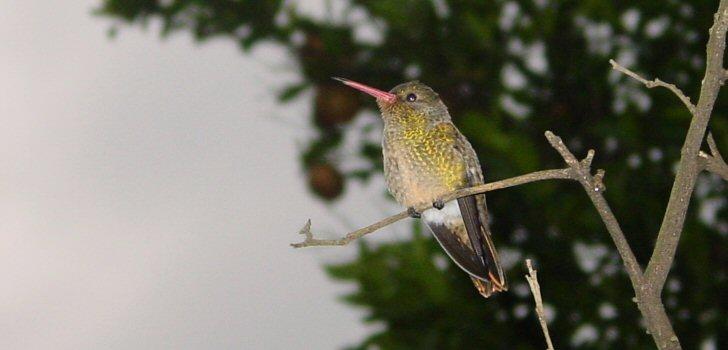 kolibri-costa-rica