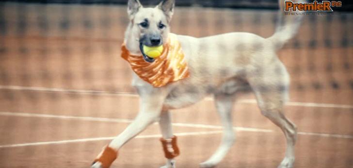 """Beim Tennisturnier """"Brasil Open"""" werden auch in diesem Jahr tierische Balljungen/Mädchen zum Einsatz"""