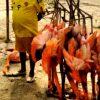 Hunger in Venezuela: Flamingos und Ameisenbären landen im Kochtopf