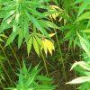 Lateinamerika wendet sich gegen die Ächtung von Marihuana
