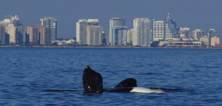 Wal vor Punta del Este