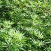 Peru: Kongress legalisiert Verwendung von medizinischem Cannabis