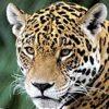 Mexikos Jaguare sind auf dem Vormarsch