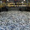 Umweltwarnung: Chiles Lachsproduktion am Pranger