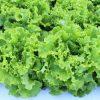 Brasilien bringt neue widerstandsfähige Salatsorte auf den Markt