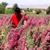 Exporte von Quinoa nach China steigern die Produktion in Peru
