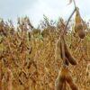 Erntebeginn in Paraguay: Zehn Millionen Tonnen Sojabohnen  erwartet