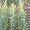 Glutensensitivität: Freispruch für modernen Weizen?