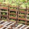 Ecuador: Bananen-Exporte trotzen der Corona-Pandemie