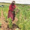 Lateinamerika: Transgene Nutzpflanzen in Peru bis 2035 verboten