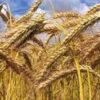 Erster Weizen-Genom-Atlas soll Produktion weltweit verbessern