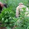 Brasilien: 450.000 Marihuana-Pflanzen zerstört