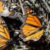 Mexiko: Population der Monarchfalter gesunken