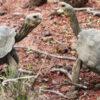 191 Riesenschildkröten im Galapagos-Archipel freigelassen