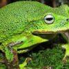 Zwei neue Froscharten im peruanischen Amazonas entdeckt
