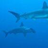 Ecuador: Zwei neue Fischarten auf Galapagos entdeckt