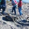 Hunderte tote Schildkröten am Strand von Morro Ayuta